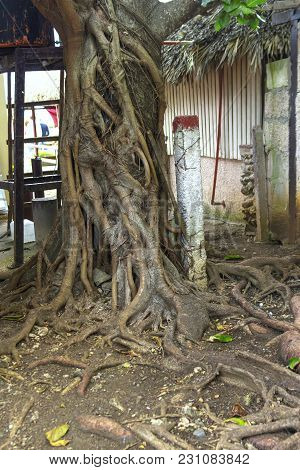 The Roots Of The Tree Came Out On The Surface Because Of The Blurring Of The Soil With Water, The Ri