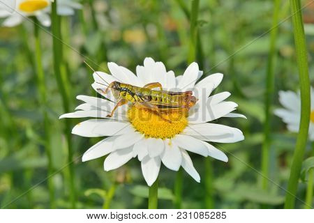 A Close Up Of The Grasshopper (locust) On Flower Of Chamomile.
