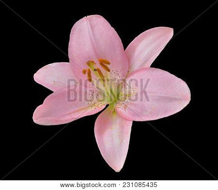 A Close Up Of The Flower Pink Lily With Raindrops On Petals. Isolated On Black.
