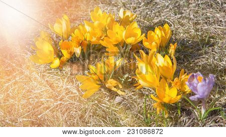 Beautiful Yellow Crocuses Flower Growing On The Dry Grass And Bees Gathering Nectar, The First Sign
