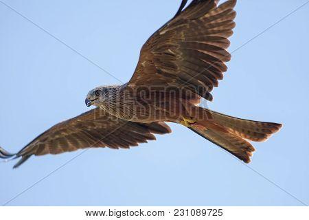 Beautiful red kite (Milvus milvus) bird of prey in flight feeding on the wing, Aerial predator holding prey meat in its talons as it is flying. poster