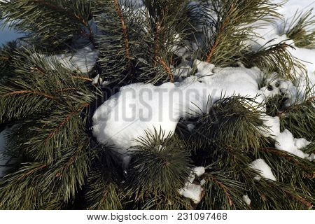 Snow On Pine Twigs. Seasonal Background And View