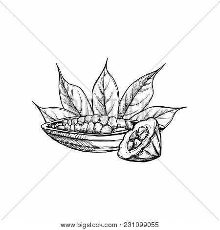 Cocoa Vector Isolated On White Background. Engraved Vector Illustration Of Leaves And Beans Of Cocoa