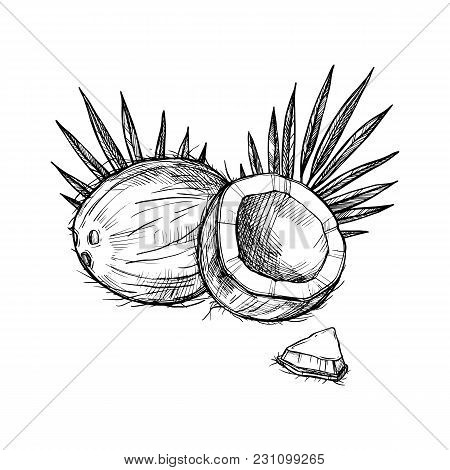 Coconut Vector Isolated On White Background. Engraved Vector Illustration Of Leaves And Beans Of Coc