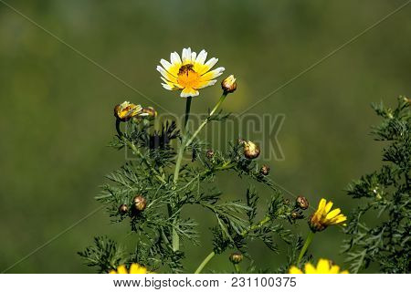 Yellow Flowers (chrysanthemum Coronarium) And The Bee On A Spring Sunny Day Close-up