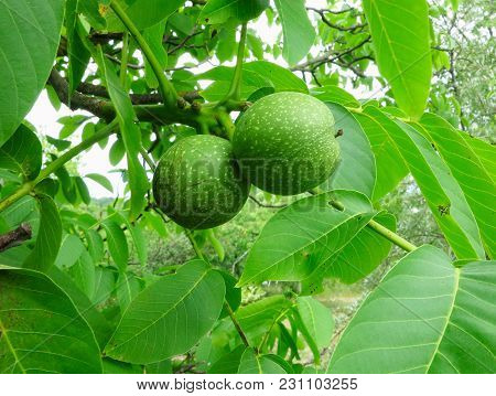 Two Green Walnuts On A Tree Branch