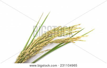 Green Spike Rice Isolated On White Background