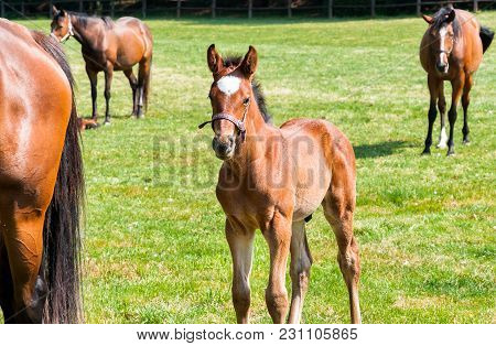 English Thoroughbred Foal Purebred Horse On The Field.