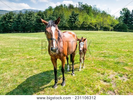 English Thoroughbred Foal Purebred Horse With Mare On The Field.