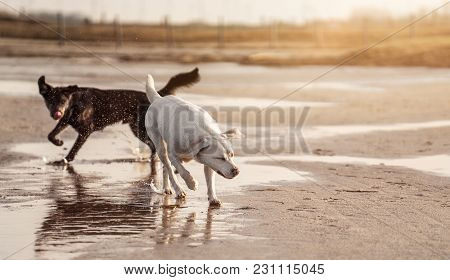 Two Happy Dogs Running And Playing Together On The Beach With Ball - Australian Shepherd And Labrado