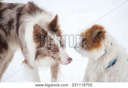 Cute Border Collie Meets Jack Russel Terrier In Snowy Park