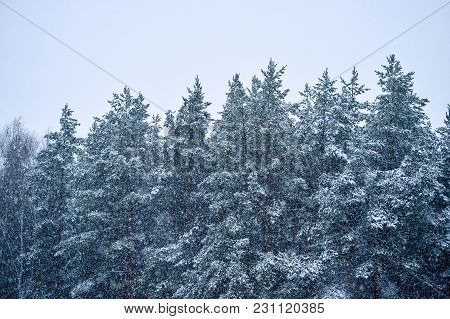 The Spruce Forest During A Snowfall. Background.