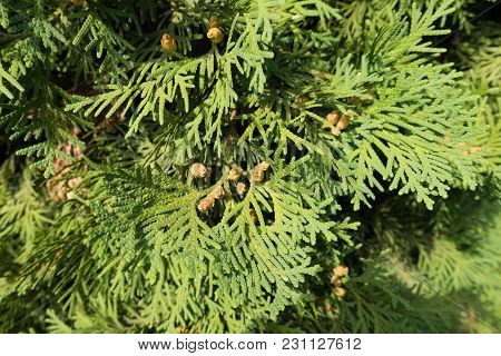 Leafage Of Thuja Occidentalis With Seed Cones