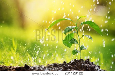Seedling Watering In The Soil. Water Drops Falling Onto New Sprout On Sunny Day In The Garden In Sum