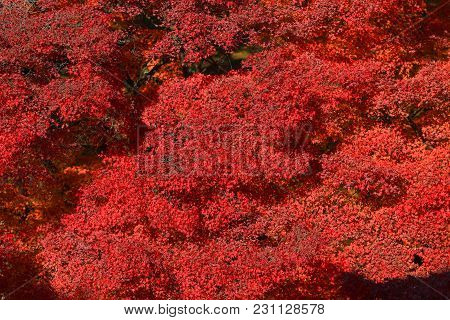 Full Red Leaves In Japan Garden At Kyoto, Japan