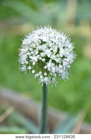 Colorful And Crisp Image Of Opened Umbel Of Onion Flower On Green