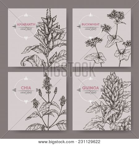 Set Of Four Banners With Amaranth, Quinoa, Chia And Buckwheat Sketch. Cereal Plants Collection. Grea
