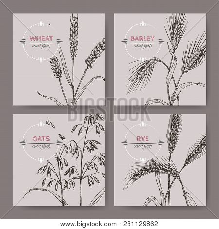 Set Of Four Banenrs With Bread Wheat, Rye, Barley And Oats Sketch. Cereal Plants Collection. Great F