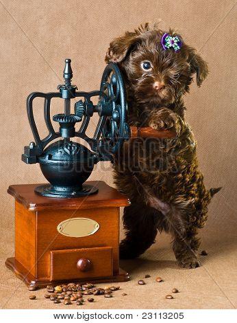 Tsvetnaya bolonka with a coffee grinder in studio poster