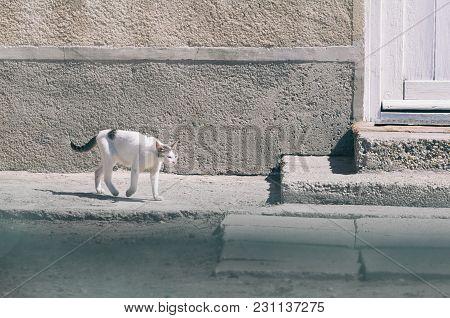 Poor White Skinny Smelly Village Cat Walking