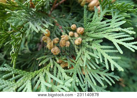 Nearly Ripe Seed Cones Of Thuja Occidentalis