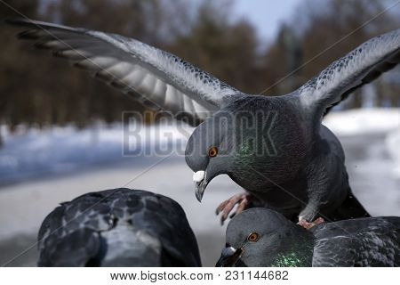 Pigeons During Feeding In Winter In A City Park, Closeup
