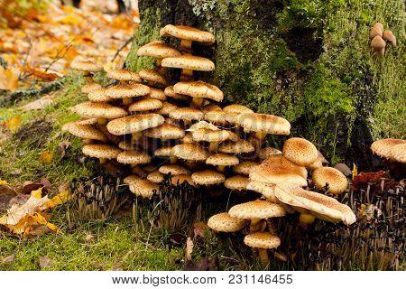 Large Group Og Mushrooms Grows On Tree Butt