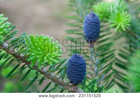 Korean Fir-tree On A Green Background. She Has Blue Or Purple Bumps. Cones Original And Bright
