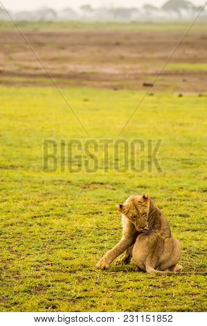 Lion Lying In The Grass Gaggling Mouth Wide Open In The Savannah Of Amboseli Park In Kenya