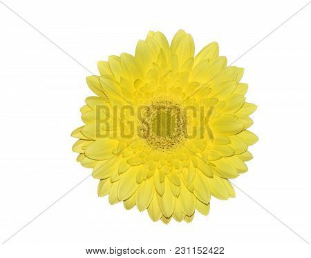 Yellow Head Of Gerbera Flower Or Transvaal Daisy Close Up, Isolated On A White Background
