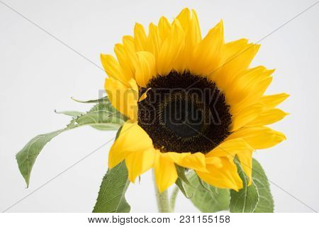 Closeup Of Sunflower With Leaves. Colorful Flower.