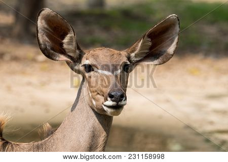 Close up of the Antelope female face