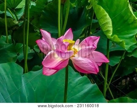 Asakusa, Tokyo, Japan - Aug. 06 2017: Blossom Lotus Flower In Japanese Pond; Focus On Flower