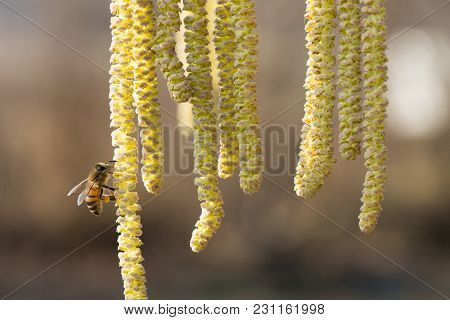 Bee Collects Pollen On Hazel