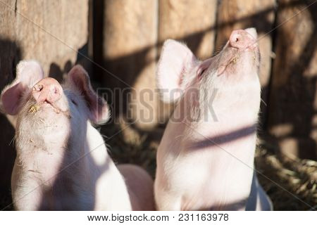 Portrait Of Two Domestic Pigs Looking Through A Fence Two Pigs On Straw