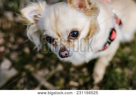 Portrait Of Cute Small Dog Chihuahua, Waiting For A Reward