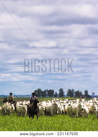 Magda, Sao Paulo, Brazil, March 08, 2006: The Cowboy Leads A Group Of Nelore Cattle Being Herded Thr