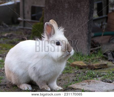 Rabbit, Little Sweet Bunny. The Lionhead Rabbit