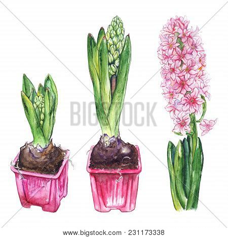 Watercolor Pink Hyacinth Flower Bud Green Leaf Nature Plant Pot Set Isolated