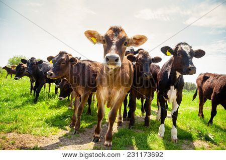 Ayreshire calves at a pasture in rural Sussex, Southern England, UK