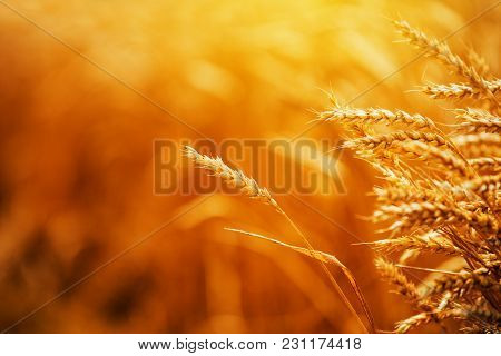 Golden Ripe Wheat Ears In Cultivated Agricultural Crops Field, Cereal Plant Is Ready For Harvest