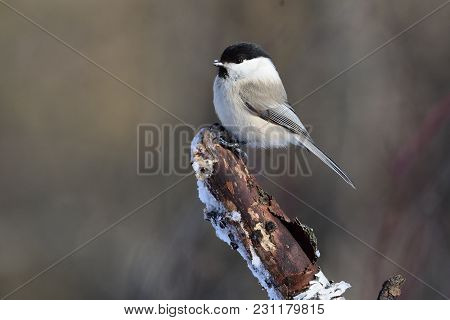 Willow Tit (poecile Montanus) With Ice Crystals On Its Beak Sits On A Thick Broken Branch.
