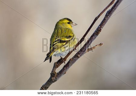 Eurasian Siskin (spinus Spinus) Looks Around, Sitting In The Branches Of The Apple Tree.