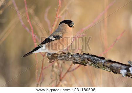Female Of Eurasian (common) Bullfinch (pyrrhula Pyrrhula) Sitting On A Branch With Flaking Bark (aga