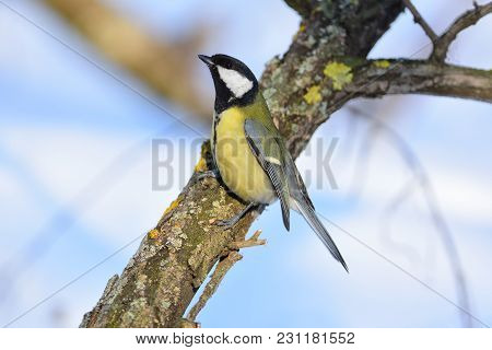 Great Tit (parus Major) Stood In A Threatening Pose (hunched And Spreading Its Wings).