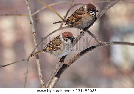Two Eurasian Tree Sparrows (passer Montanus) Sit Side By Side: One Clean And Neat, Second Dirty And