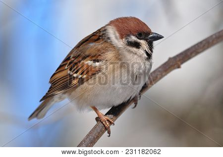 Eurasian Tree Sparrow (passer Montanus) Sitting Sideways On A Thin Branch Very Close.