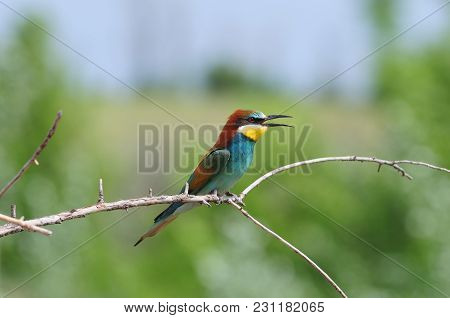 European Bee-eater (merops Apiaster) With Ruffled Feathers On The Nape Opened Its Beak (sitting On A