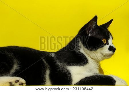 Pets, Animals Concept.black Cat Over Yellow Background. Tuxedo Cat Lying And Looking To The Side. Ca
