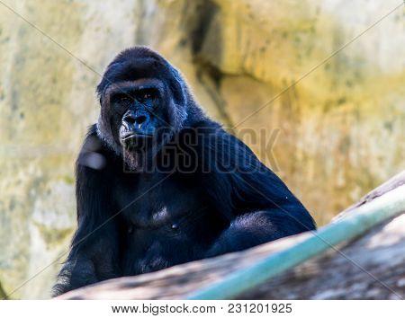 Large Adult Male Gorilla Sitting Behind A Log